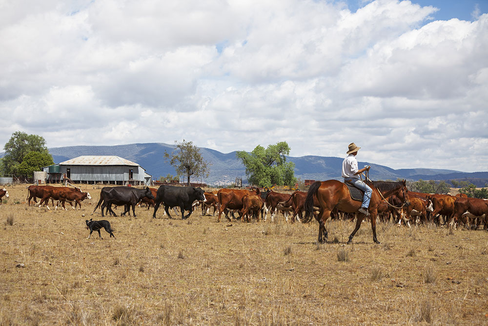 An image of a man cattle herding with a dog in the Australian outback.